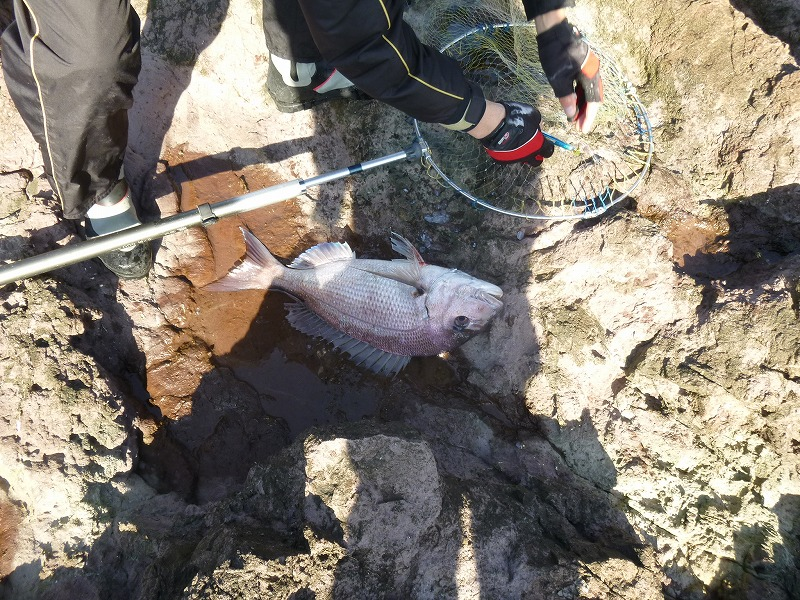 真鯛61cm