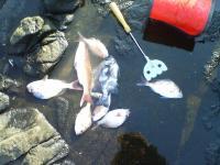 真鯛とシマシマ