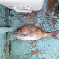 真鯛57cmゲット